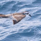 White-faced storm petrel. Adult - first live record from New Zealand of the Australian subspecies. At sea off Kawhia, April 2016. Image © Matthias Dehling by Matthias Dehling