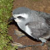 White-faced storm petrel. Fledgling on surface. Rangatira Island, February 2004. Image © Graeme Taylor by Graeme Taylor