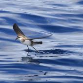 White-faced storm petrel. Foraging adult. Outer Hauraki Gulf, February 2012. Image © Dylan van Winkel by Dylan van Winkel Dylan van Winkel ©