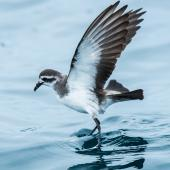 White-faced storm petrel. Wings raised showing underwing. Rangaunu Bay, January 2017. Image © Les Feasey  by Les Feasey