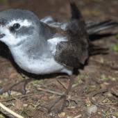 White-faced storm petrel. Adult at breeding colony. Rangatira Island, Chatham Islands, October 2020. Image © James Russell by James Russell