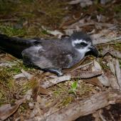 White-faced storm petrel. Adult on ground showing back. Kundy Island, Stewart Island, March 2011. Image © Colin Miskelly by Colin Miskelly