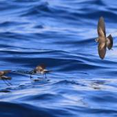 White-faced storm petrel. Flock of adults foraging. At sea off Whangaroa Harbour, Northland, January 2011. Image © Jenny Atkins by Jenny Atkins www.jennifer-m-pics.ifp3.com