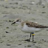 Red-necked stint. Adult with Chinese leg flags. Waipu estuary, October 2016. Image © Susan Steedman by Susan Steedman