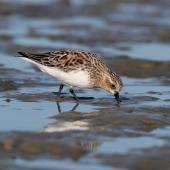 Red-necked stint. Adult in breeding plumage foraging on mudflat. Porangahau Estuary, Hawkes bay, March 2016. Image © Adam Clarke by Adam Clarke