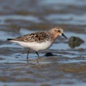 Red-necked stint. Adult in breeding plumage on mudflat. Porangahau estuary, Hawke's Bay, March 2016. Image © Adam Clarke by Adam Clarke