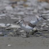 Red-necked stint. Non-breeding adult, adult wrybill in background. Lake Ellesmere, February 2014. Image © Steve Attwood by Steve Attwood http://www.flickr.com/photos/stevex2/