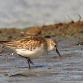 Red-necked stint. Juvenile in worn plumage. Waikanae Estuary, October 2012. Image © Roger Smith by Roger Smith