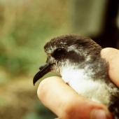 Kermadec storm petrel. Close view of adult head. Macauley Island, December 1988. Image © Graeme Taylor by Graeme Taylor