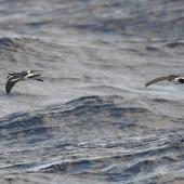 Kermadec storm petrel. Kermadec storm petrel (left) with white-bellied storm petrel. Kermadec Islands, April 2021. Image © Scott Brooks (ourspot) by Scott Brooks