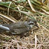 Kermadec storm petrel. Adult on ground. Macauley Island, Kermadec Islands, December 1988. Image © Alan Tennyson by Alan Tennyson