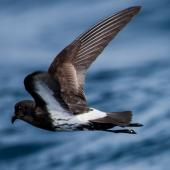 New Zealand storm petrel. Close view of adult in flight. Outer Hauraki Gulf, May 2008. Image © Martin Sanders by Martin Sanders  http://martinsanders.smugmug.com/