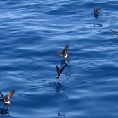New Zealand storm petrel. Five adults feeding. Tutukaka Pelagic out past Poor Knights Islands, January 2020. Image © Scott Brooks (ourspot) by Scott Brooks
