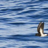 New Zealand storm petrel. Wings raised in flight. Outer Hauraki Gulf, February 2012. Image © Dylan van Winkel by Dylan van Winkel