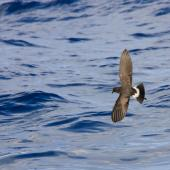 New Zealand storm petrel. Wings and tail open in flight. Outer Hauraki Gulf, February 2012. Image © Dylan van Winkel by Dylan van Winkel