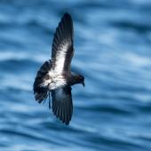New Zealand storm petrel. Adult in flight. Hauraki Gulf, September 2017. Image © Edin Whitehead by Edin Whitehead Edin Whitehead www.edinz.com