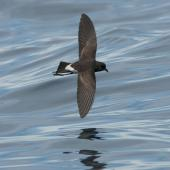 New Zealand storm petrel. Dorsal view of adult in flight. Outer Hauraki Gulf, January 2012. Image © Philip Griffin by Philip Griffin