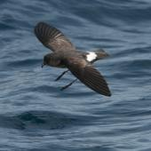 New Zealand storm petrel. Approaching the surface with legs down. Outer Hauraki Gulf, January 2012. Image © Philip Griffin by Philip Griffin