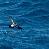 Black-bellied storm petrel. Adult skipping, ventral view. Southern Ocean, November 2016. Image © Edin Whitehead by Edin Whitehead www.edinz.com