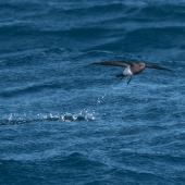 Black-bellied storm petrel. Adult skipping. Southern Ocean, November 2016. Image © Edin Whitehead by Edin Whitehead www.edinz.com