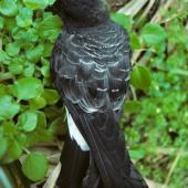 White-bellied storm petrel. Dorsal view of adult on ground. Macauley Island, Kermadec Islands, September 1988. Image © Alan Tennyson by Alan Tennyson