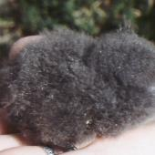 White-bellied storm petrel. Chick. Curtis Island, Kermadec Islands, May 1982. Image © Colin Miskelly by Colin Miskelly