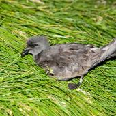 Leach's storm petrel. Adult at breeding colony. Iceland. Image © Alex Máni by Alex Máni