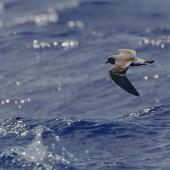 Leach's storm petrel. Adult in flight. Off the Mariana Islands, Western Pacific, April 2019. Image © Ian Wilson 2019 birdlifephotography.org.au by Ian Wilson