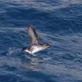 Common diving petrel. Adult taking flight. Off Brothers Islands, Cook Strait, October 2019. Image © Colin Miskelly by Colin Miskelly