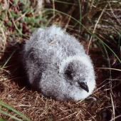 Common diving petrel. Large downy chick (northern diving petrel). North Brother Island, Cook Strait, November 1998. Image © Colin Miskelly by Colin Miskelly