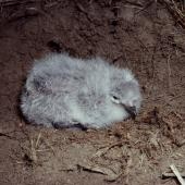 Common diving petrel. Small chick (northern diving petrel). Mana Island, October 2003. Image © Colin Miskelly by Colin Miskelly
