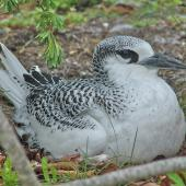 Red-tailed tropicbird. Juvenile ready to fledge. Cook Islands, August 2006. Image © John Flux by John Flux