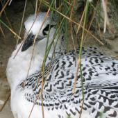 Red-tailed tropicbird. Chick at nest. Macauley Island, July 2006. Image © Terry Greene by Terry Greene