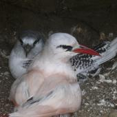 Red-tailed tropicbird. Adult with chick. Kermadec Islands, North Meyer Islet, May 2007. Image © Steffi Ismar by Steffi Ismar Courtesy of S. Ismar.