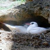 Red-tailed tropicbird. Pair at nest. Phillip Island, Norfolk Island, December 2008. Image © Joke Baars by Joke Baars