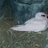 Red-tailed tropicbird. Adult on nest. North Meyer Islet, Kermadec Islands, December 1966. Image © Department of Conservation (image ref: 10038161) by Don Merton, Department of Conservation Courtesy of Department of Conservation