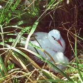 Red-tailed tropicbird. Adult and chick at nest. Macauley Island, Kermadec Islands, May 1982. Image © Colin Miskelly by Colin Miskelly