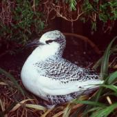 Red-tailed tropicbird. Fledgling at nest. Macauley Island, Kermadec Islands, May 1982. Image © Colin Miskelly by Colin Miskelly