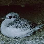 Red-tailed tropicbird. Chick on nest close to fledging. Macauley Island, Kermadec Islands, August 1966. Image © Department of Conservation (image ref: 10038158) by Brian Bell, Department of Conservation Courtesy of Department of Conservation