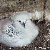 Red-tailed tropicbird. Chick on nest. Meyer Island, Kermadec Islands. Image © Department of Conservation (image ref: 10055124) by Dick Veitch, Department of Conservation Courtesy of Department of Conservation