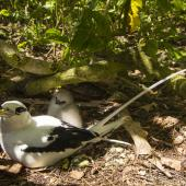 White-tailed tropicbird. Adult and chick at nest. Aride Island, Seychelles, October 2015. Image © James Russell by James Russell