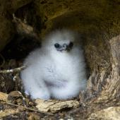 White-tailed tropicbird. Chick in nest. Aride Island, Seychelles, October 2015. Image © James Russell by James Russell