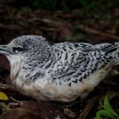 White-tailed tropicbird. Fledgling. Mauritius, February 2016. Image © Colin Miskelly by Colin Miskelly