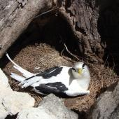 White-tailed tropicbird. Adult on nest. Bird Island, Seychelles, October 2008. Image © Glenn McKinlay by Glenn McKinlay
