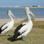 Australian pelican. Two immatures on land. Kalbarri, Western Australia, September 2013. Image © Roger Smith by Roger Smith
