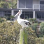 Australian pelican. Adult female. Kerikeri Inlet, August 2012. Image © Detlef Davies by Detlef Davies