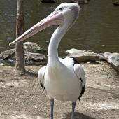 Australian pelican. Immature. Port Douglas,  Queensland,  Australia, August 2015. Image © Rebecca Bowater by Rebecca Bowater FPSNZ AFIAP www.floraandfauna.co.nz