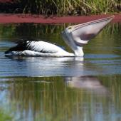 Australian pelican. Adult swallowing fish. Yanchep National Park,  Western Australia, December 2016. Image © Marie-Louise Myburgh by Marie-Louise Myburgh