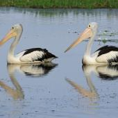 Australian pelican. Pair on water. Kakadu National Park, September 2015. Image © Duncan Watson by Duncan Watson
