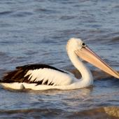 Australian pelican. Adult. Cairns, Queensland, Australia, September 2010. Image © Dick Porter by Dick Porter